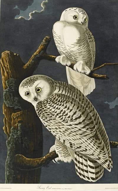 Lot_50_Audubon_-_Snowy_Owl