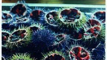the_fragile_feast_sea_urchins_2