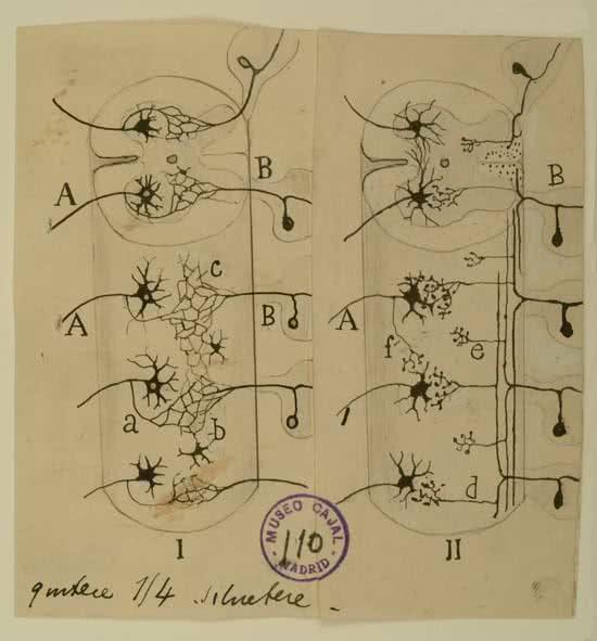 santiago-ramon-y-cajal-conexiones-sensitivo-motoras-de-la-medula-espinal-golgi-i-cajal-ii-dibujo-tinta-negra-sobre-p