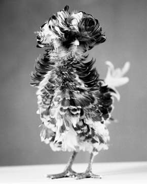 Pagliuso_Poultry_Suite_Variegated_19_Medium_2005_Gelatin_silver_print