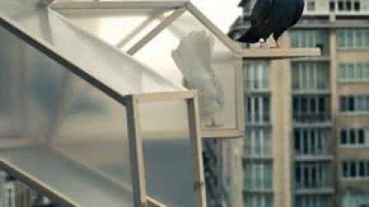 pigeon_dor_lede_PieterBaerte
