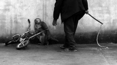 El fotógrafo chino Yongzhi Chu ha ganado la categoría individual de 'Naturaleza' con una imagen que muestra a un mono mientras es adiestrado para trabajar en un circo, en Suzhou.