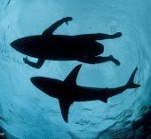Thomas P. Peschak. El tiburón surfista.