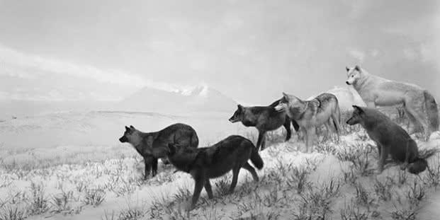 Lobos de Alaska, 1994, Impresión a la gelatina de plata © Hiroshi Sugimoto