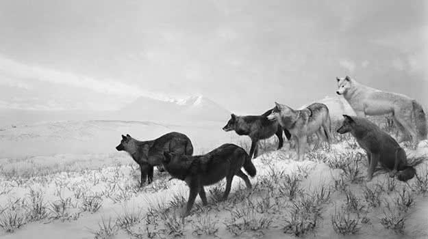 Hiroshi Sugimoto. Lobos de Alaska, 1994. Impresión a la gelatina de plata.