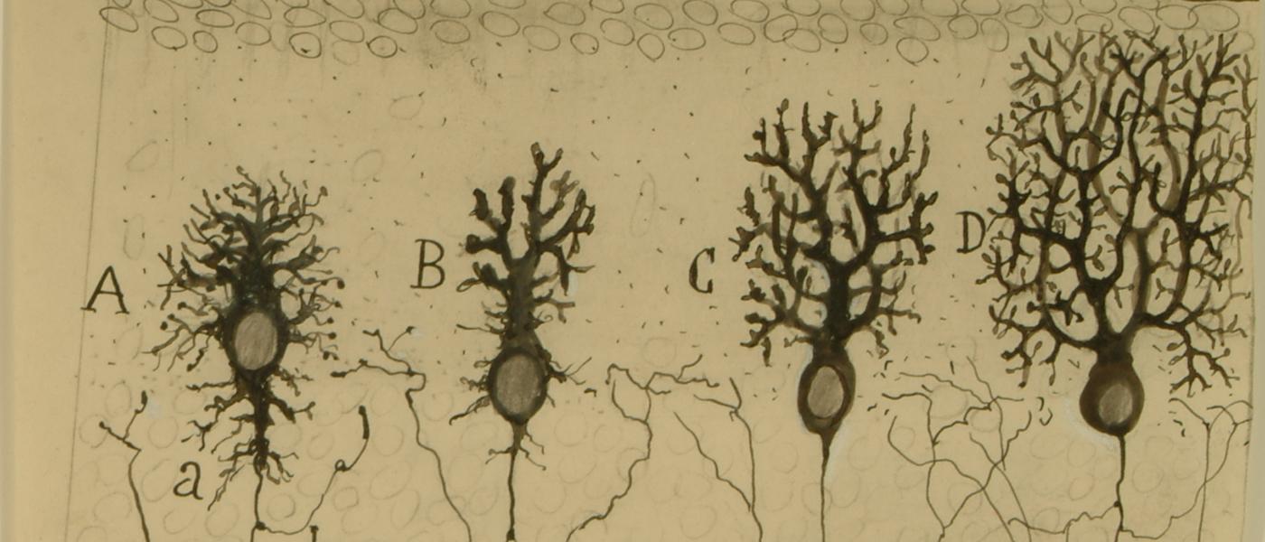 Dibujo científico de Santiago Ramón y Cajal, fases de la sucesiva complicación del ramaje de la célula de Purkinje, 1923. Cortesía del Instituto Cajal, Legado Cajal, CSIC, Madrid.