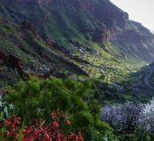 Almedros en flor. Guayadeque. Gran Canaria.