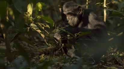 Chimpancés en el Bosque de Kibale, al sur de Uganda. © Luis Domingo.