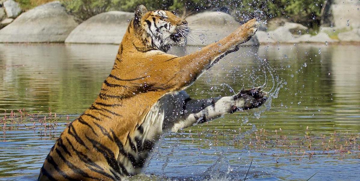 Un tigre en El Escorial. © Luis Domingo.