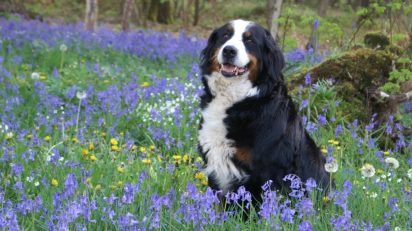 dog_bernese_mountain_dog_forest_spring_violet_violets_purple_flowers_undergrowth-657675