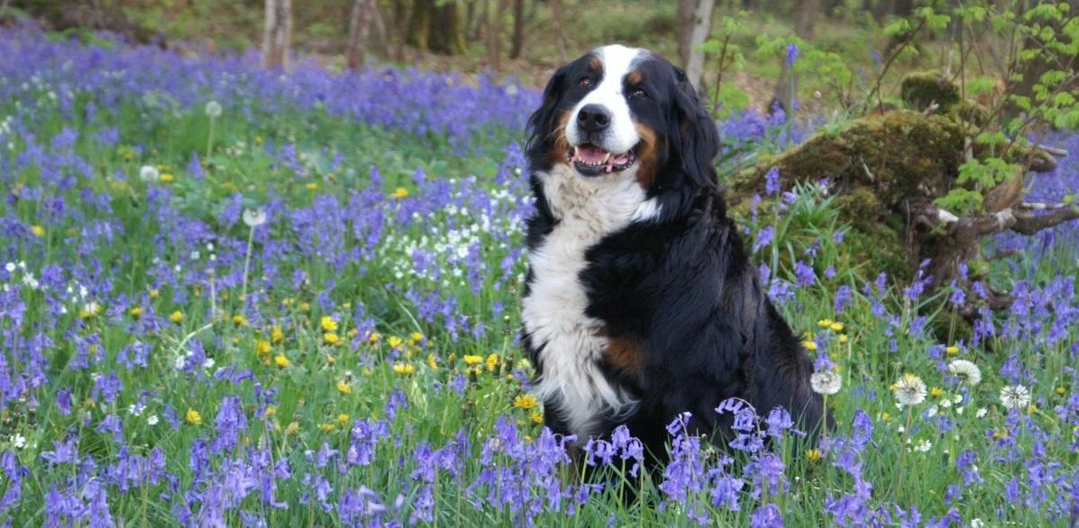 dog_bernese_mountain_dog_forest_spring_violet_violets_purple_flowers_undergrowth-657675